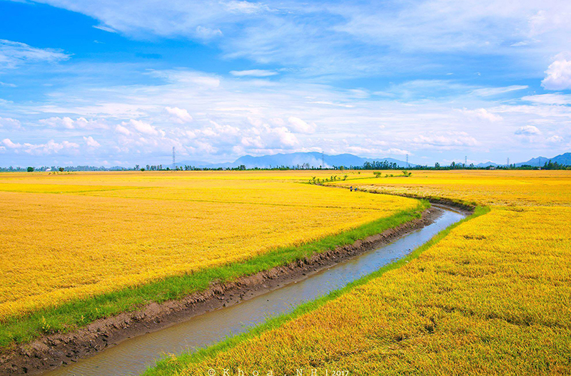 The Rice field in Mekong Delta